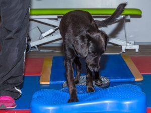 Aktive Bewegungstherapie Hund Gerätetraining