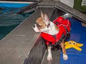 Hundeschwimmen Hund im Pool bei der Physiotherapie