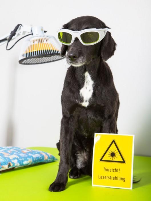 Hund bei der Lasertherapie Hund Filderstadt P4 Das Hunderevier
