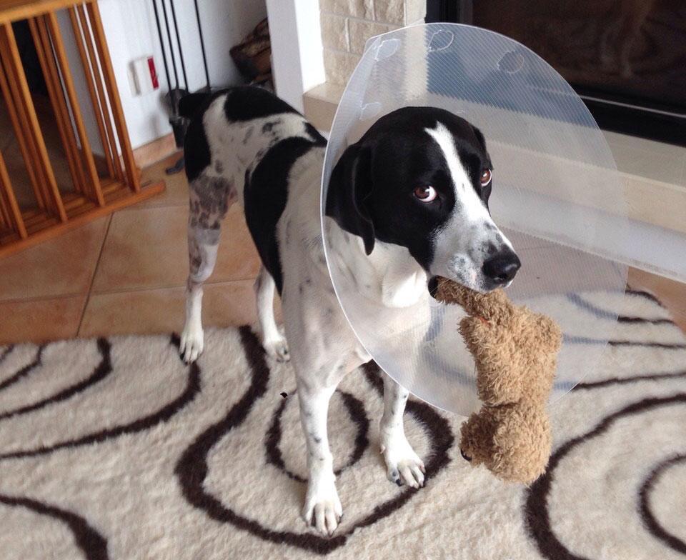 Hund nach Operation mit Halskragen