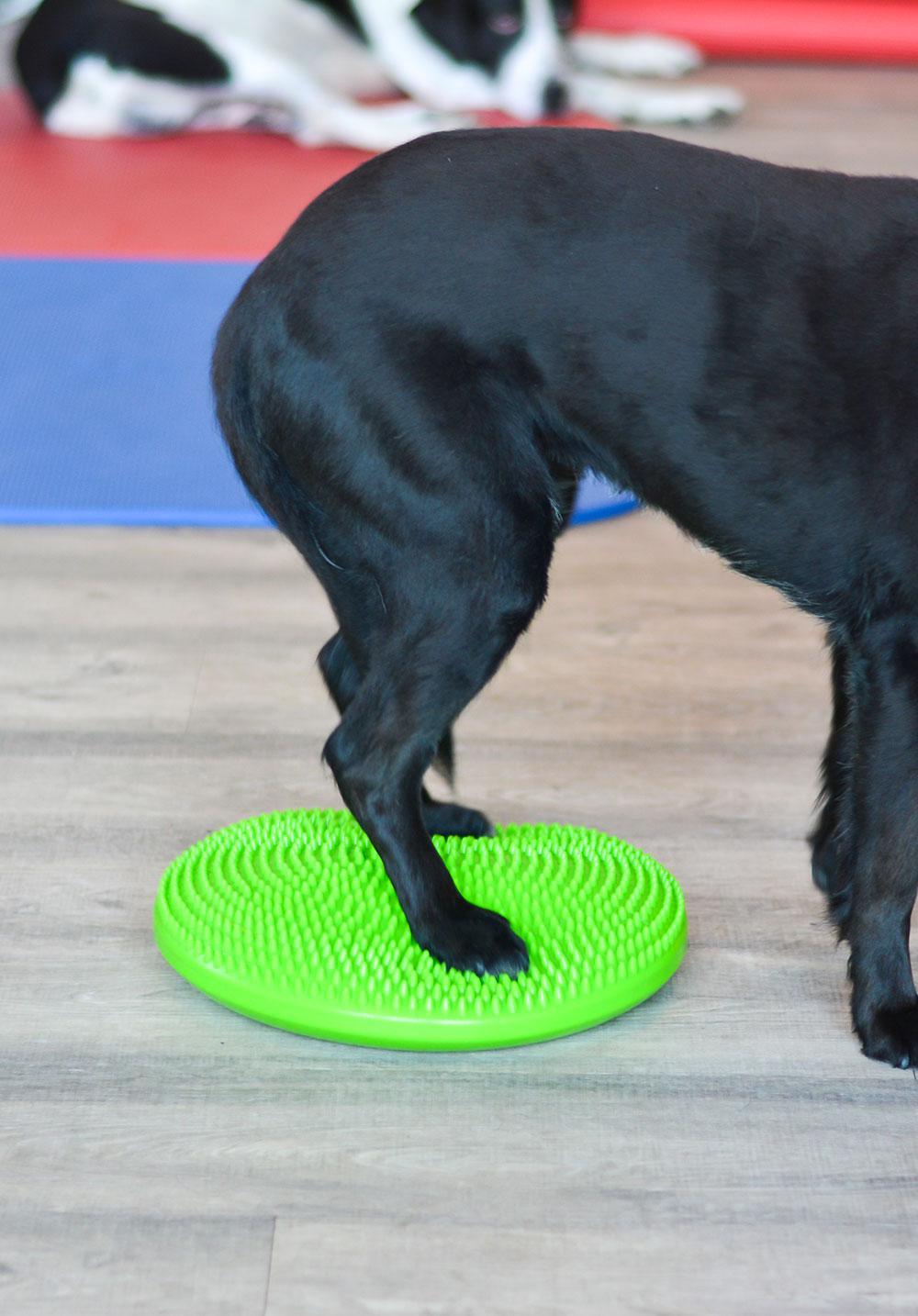 Hund bei der Physiotherapie mit den Hinterbeinen auf Balancekissen