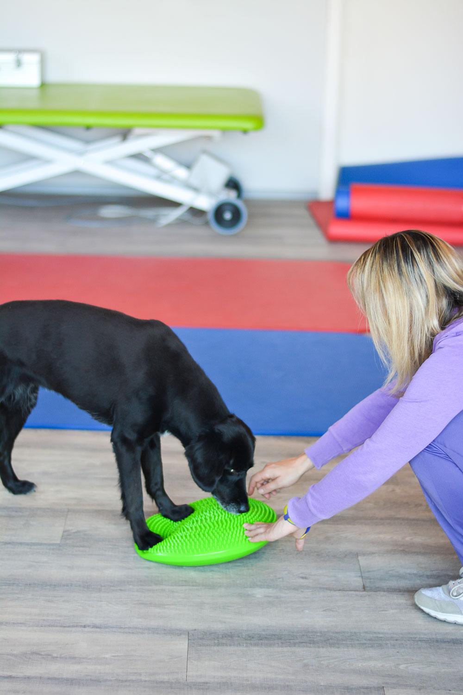 Hund mit Balancekissen bei der Physiotherapie