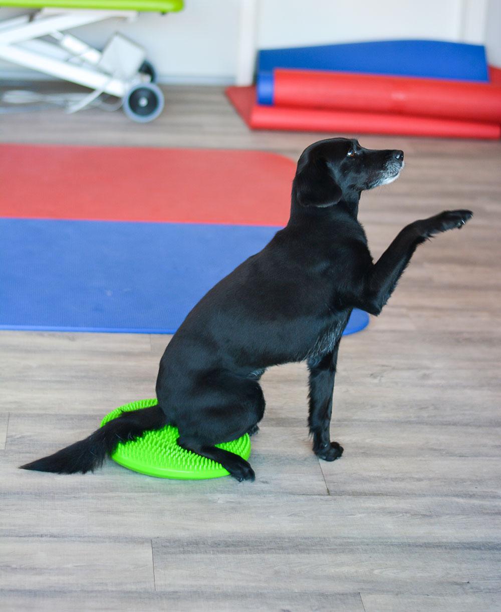 Hundephysiotherapie auf dem Balancekissen
