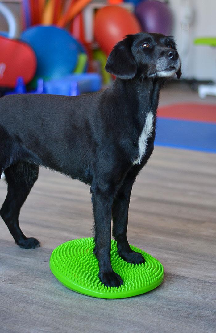 Übung auf dem Balancekissen Hund Vorderbeine